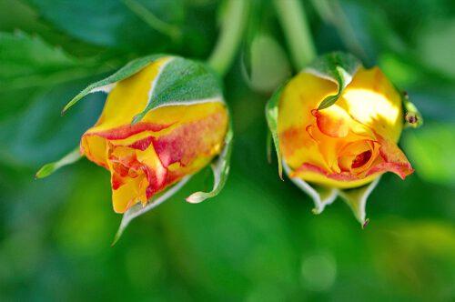 Zwei Rosenknospen - die Blüten von morgen...