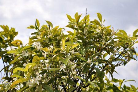 Kennst du das Land, wo die Zitronen blühn? - Zitronenblüten in den Ruinen des antiken Naxos (Foto: Martin Dühning)