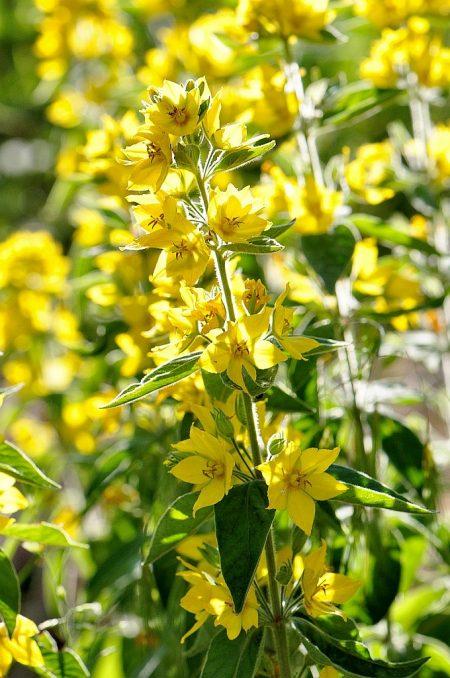 Die lichte Junisonne bringt die kernigen Blütenfarben besonders gut zur Geltung (Foto: Martin Dühning).
