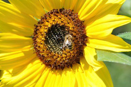 Im Jahr 2014 gibt es wieder vereinzelte Sonnenblumen im Niarts-Garten, und dann und wann ein Honigbienchen daran. (Foto: Martin Dühning)
