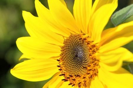 Eine sonnig-sommerliche Sonnenblume im September 2014 (Foto: Martin Dühning)