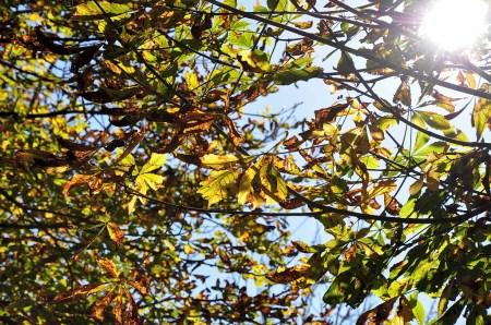 Die Herbstsonne scheint durch Kastanienkronen Ende Oktober 2014. (Foto: Martin Dühning)