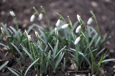 In einer wettergeschützten Ecke des heimischen Gartens haben sich die Schneeglöckchen bereits zum Blühen bereit gemacht (Foto: Martin Dühning).