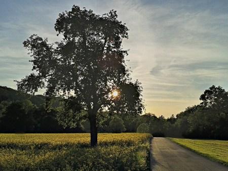 Birnbaum im Sonnenuntergang 2015 (Foto: Martin Dühning)