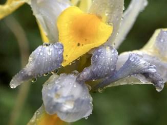 Regenbeperlte Iris am neuen Gartenteich (Foto: Martin Dühning)