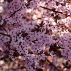 Frühe Kirschblüte