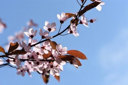 Kirschblütenzweig vor einem blaustrahlenden Frühlingshimmel (Foto: Martin Dühning)