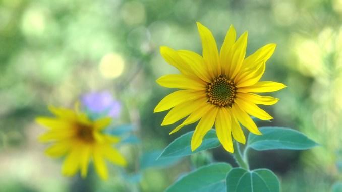 Kleine Sonnenblumen Ende September 2018 (Foto: Martin Dühning)