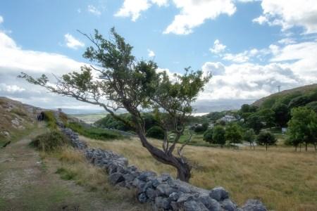 Ein heroischer Baum säumt den Pfad vom Great Orme hinunter nach Llandudno (Foto: Martin Dühning).