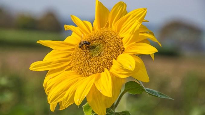 Eine der letzten Sonnenblumen im Klettgau 2019 (Foto: Martin Dühning)