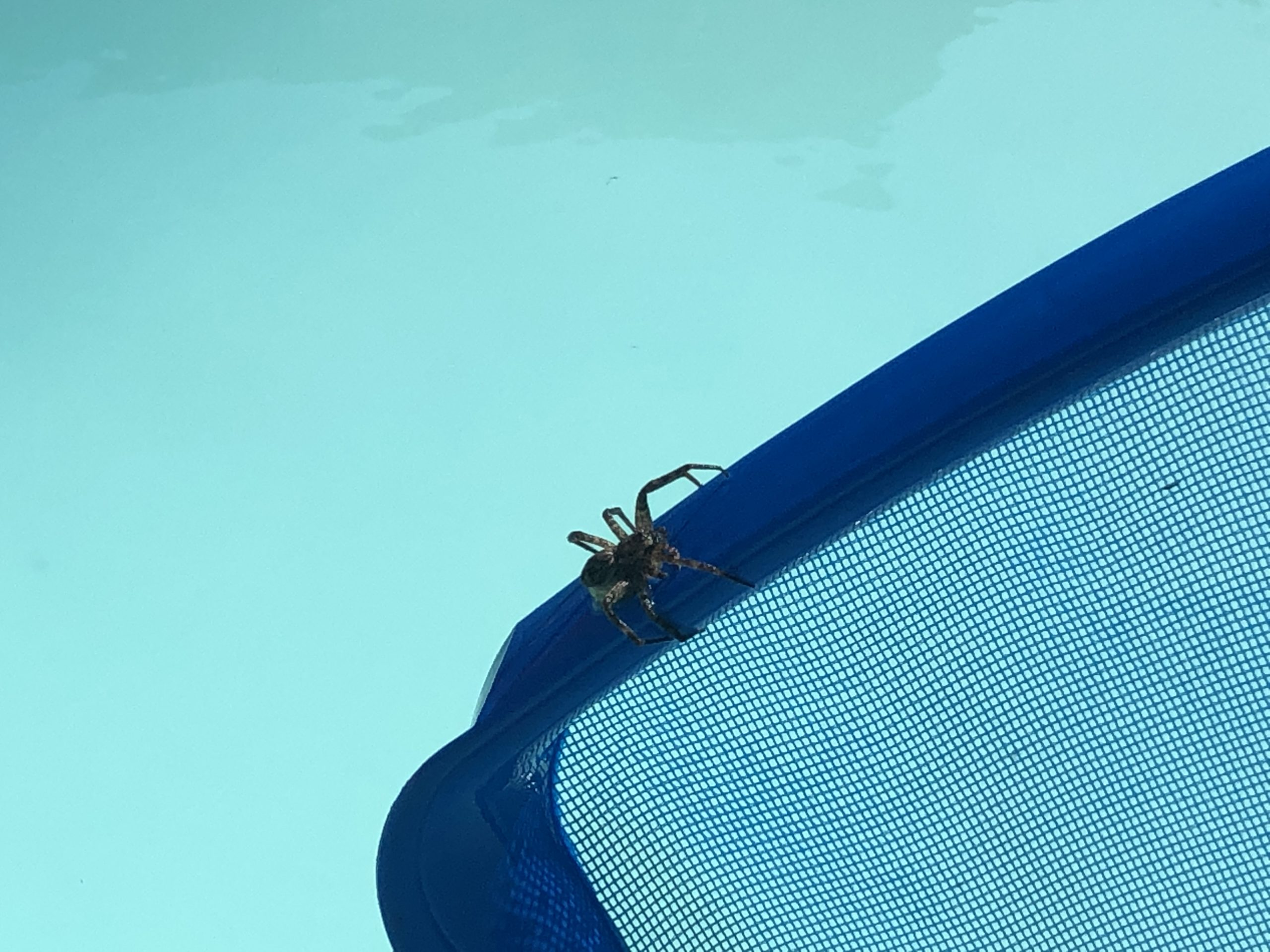 A huge pool spider