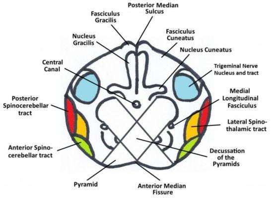 bulbo tronco encefálico 2