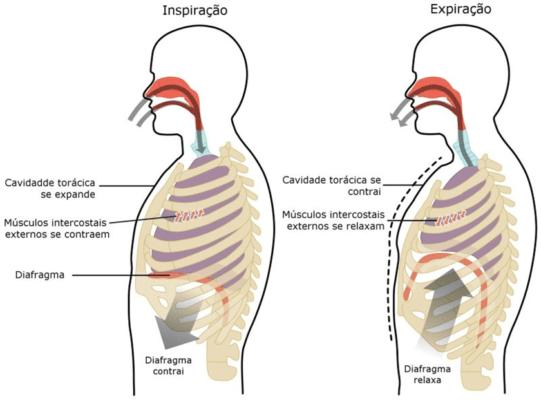 musculos da respiração