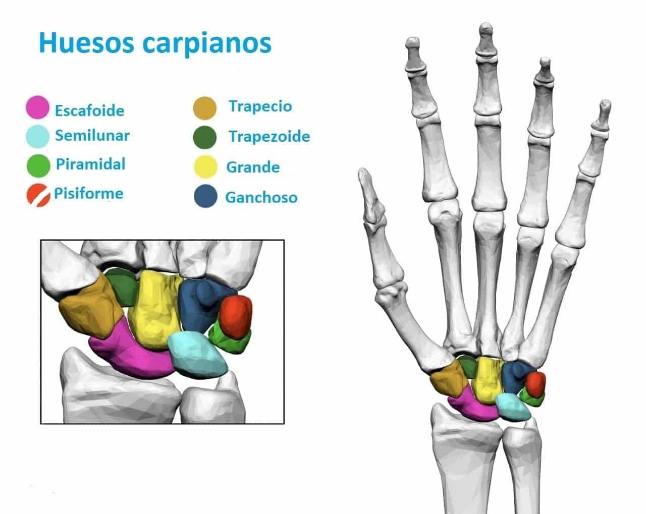Huesos Carpianos O Huesos Del Carpo