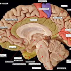 Brain Diagram Sagittal View 2003 Jeep Tj Radio Wiring Skull Section Parts Of The