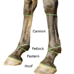 Dog Hind Leg Diagram Hayabusa Wiring The Distal Limb Bones Of Equine