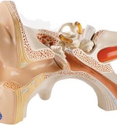 human ear diagram model [ 1511 x 1032 Pixel ]