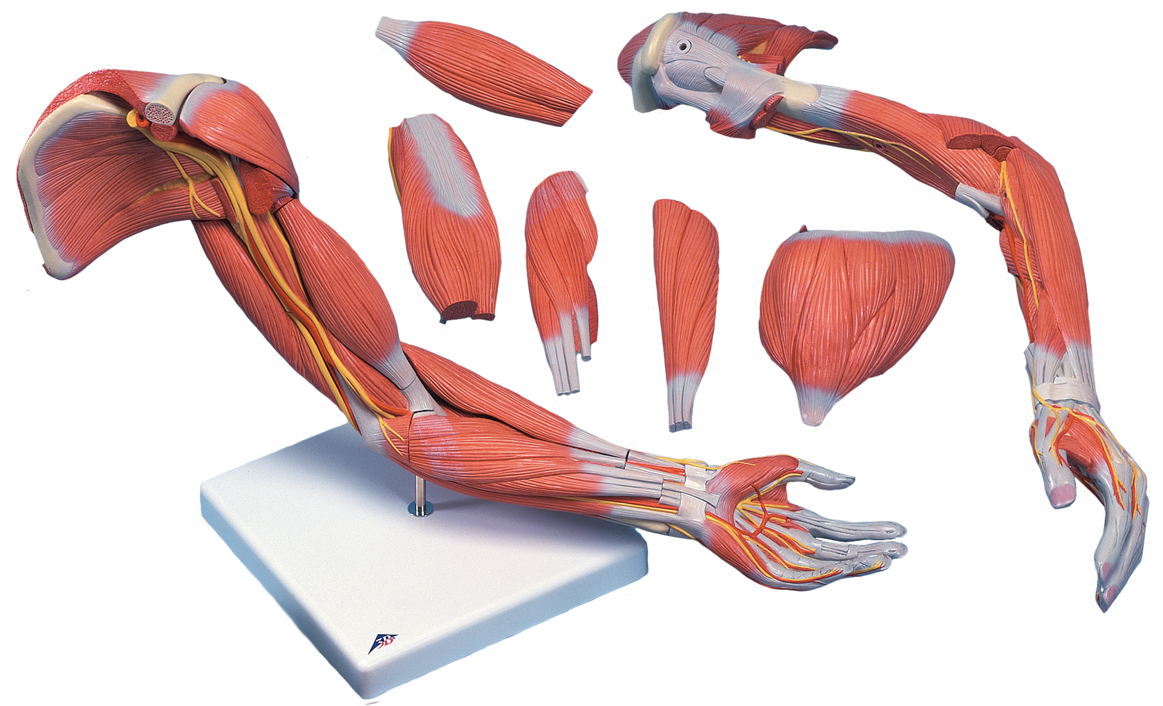 hight resolution of arm muscle anatomy diagram