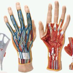 Palmar Hand Muscle Anatomy Diagram Wiring Dimmer Switch 3 Way Human Models Full Size Model Shows The Superficial And Internal Structures Of Including Bones Muscles Tendons Ligaments Nerves Arteries