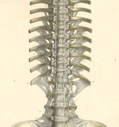 the ligaments of the vertebra the proximal ends of the ribs and of the pelvis from their ventral anterior or volar surface  [ 702 x 1750 Pixel ]