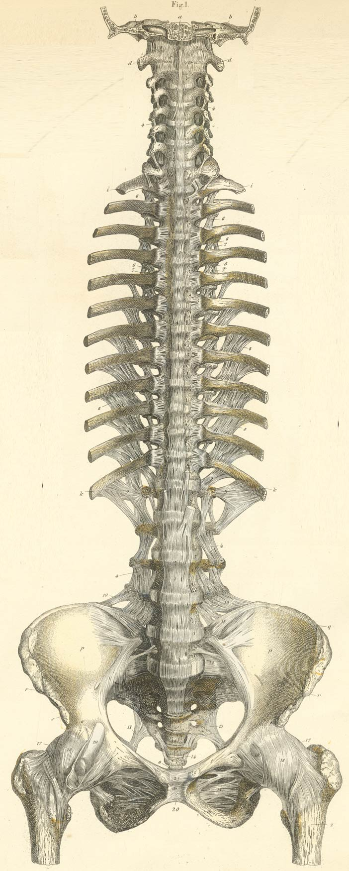 hight resolution of the ligaments of the vertebra the proximal ends of the ribs and of the pelvis from their ventral anterior or volar surface