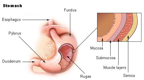 Cells Gastrin Parietal And