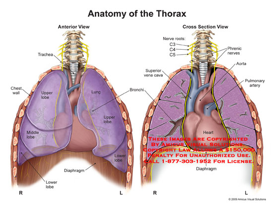 the lung anatomy diagram label rock cycle fill in blank chest – exhibits