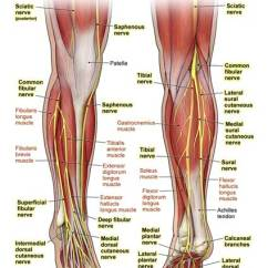Medial Lower Leg Muscles Diagram 2005 Jeep Liberty Headlight Wiring 11222 11x Nerves Of The Anatomy Exhibits Filed Under Amicus