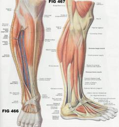 1 5 2 22 3 5 fig 467 muscles of the lateral compartment of the leg [ 1079 x 1211 Pixel ]