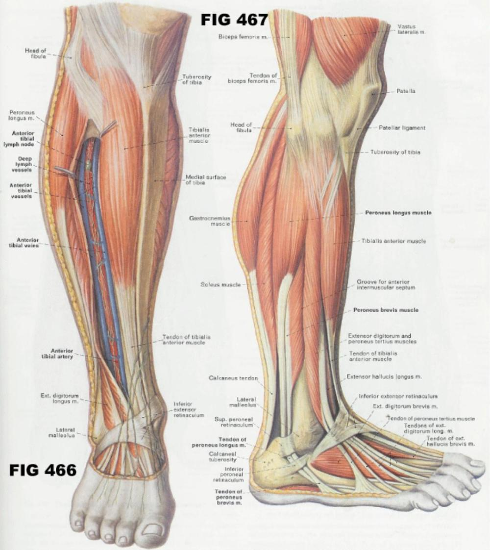 medium resolution of 1 5 2 22 3 5 fig 467 muscles of the lateral compartment of the leg