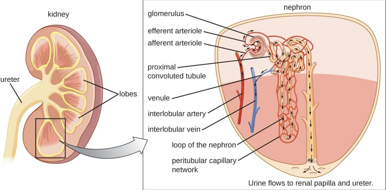 hight resolution of ureter body diagram
