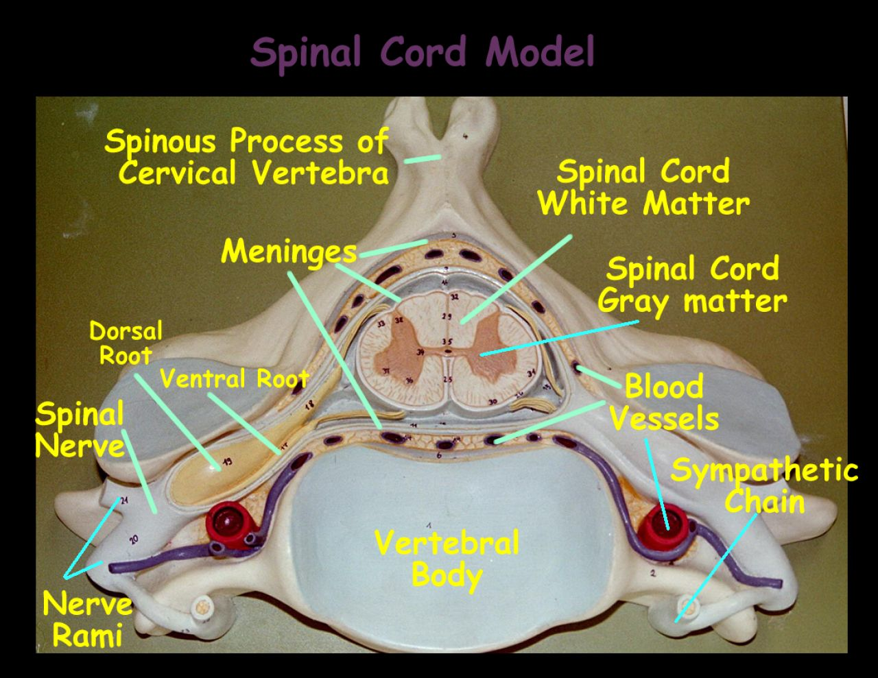 hight resolution of spinal cord model jpg