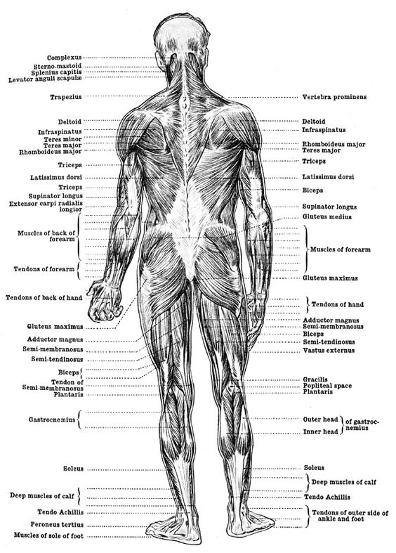 Human muscle back view diagram