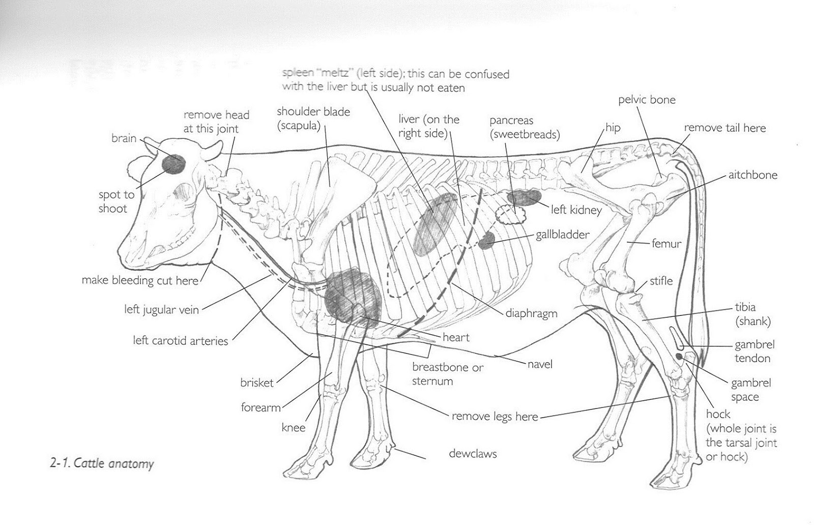 Cattle Anatomy In Detail