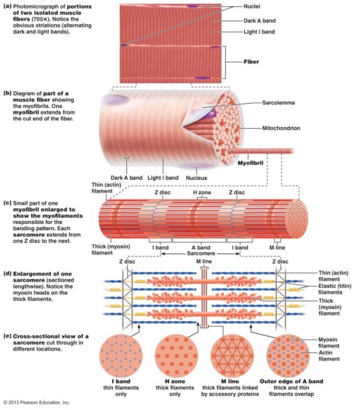 small resolution of muscle part diagram