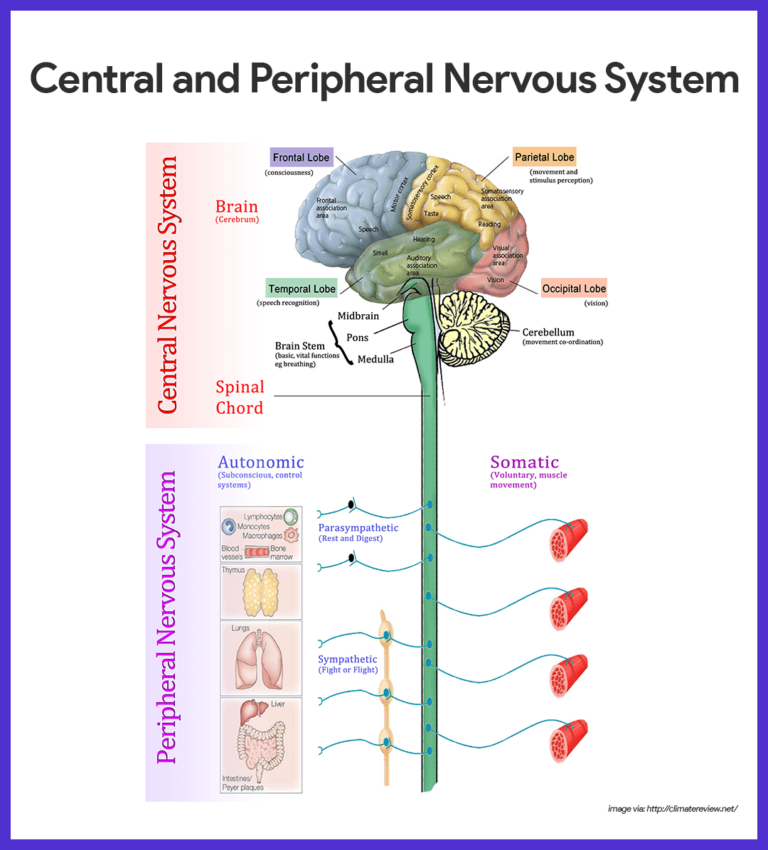 Central And Peripheral Nervous System Diagram