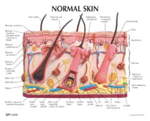 Human Skin and Acne Model #3751 for sale | Anatomy Now