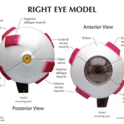 Canine Eye Diagram Right 1994 Honda Civic Dx Fuse Box Human Full Anatomy Model 2751 For Sale Now Education Card Back