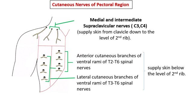 cutaneous nerves of pectoral region
