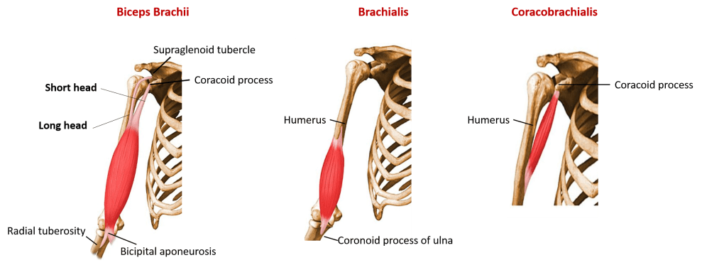 Muscles of flexor (anterior compartment of arm)