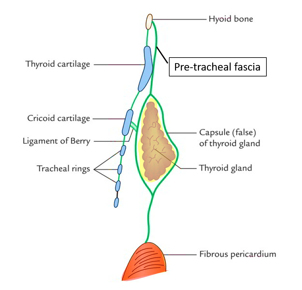 Nice Anatomy Of Thyroid Picture Collection - Anatomy Ideas - yunoki.info