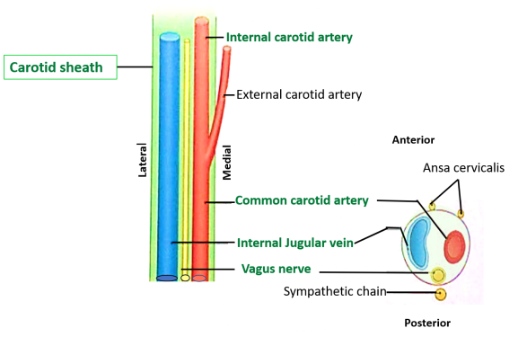 Deep Cervical Fascia - Preverterbral, Pretracheal Layers and Carotid ...