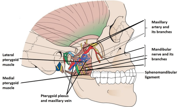 Infratemporal Fossa - Boundaries and Contents -