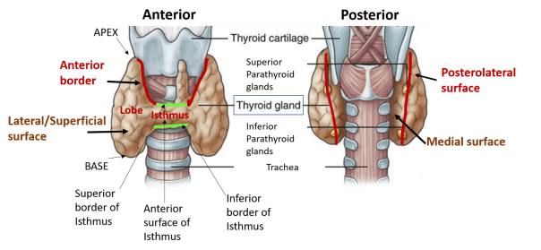 Thyroid Gland Capsules Parts Relations Blood Supply Anatomy Qa
