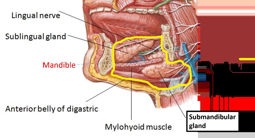 Submandibular Region - Extent, Contents, Relations of Hyoglossus -