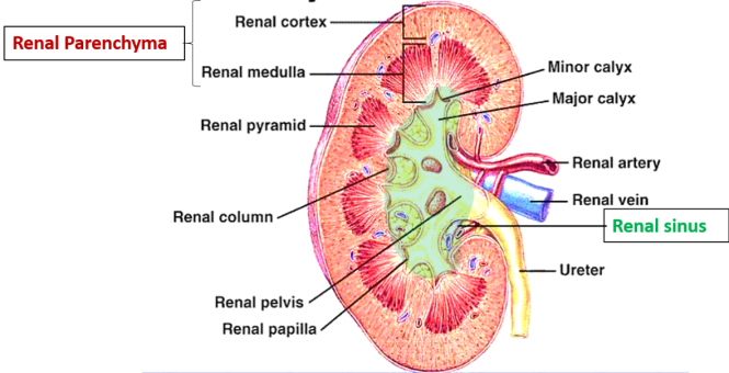 Kidney - gross features, coverings, segments and - blood supply