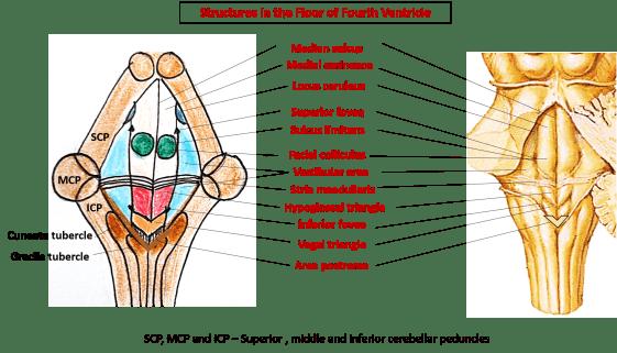 floor of fourth ventricle - rhomboid fossa