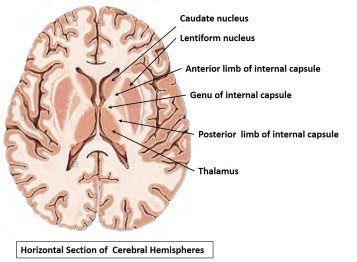 internal capsule in horizontal section of brain