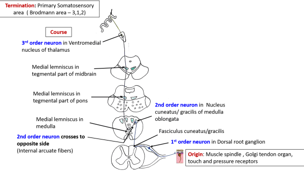 Ascending and Descending Tracts - spinothalamic