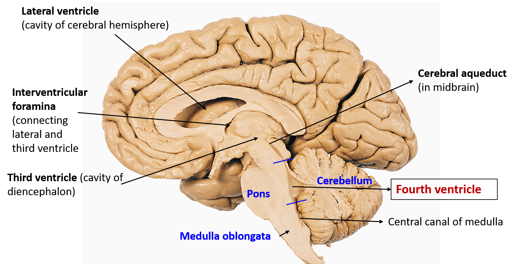 Lateral Ventricles Brain Anatomy Diagram - Illustration Of Wiring ...